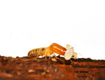 Termite Royalty Free Stock Photo
