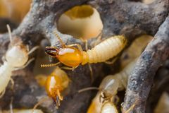 Termite or white ants Stock Photography