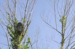 Termiten-Nest auf getrockneten Niederlassungen stockfoto