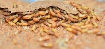 termites images libres de droits