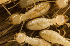 Termites. Several carpenter subterranean termites on wood Royalty Free Stock Image