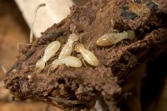 Termites Royalty Free Stock Photography