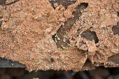 Termites Royalty Free Stock Photo