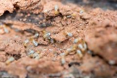 Termites Royalty Free Stock Image