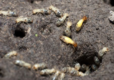Termites Colony. Close up of termites colony stock images