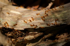 Termites on dead wood Stock Image
