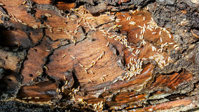 Termites eat wood Royalty Free Stock Photos