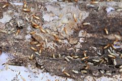 Termites Eating wood. Termites Eating wood and dangerous and disturbing insects of the house stock photography
