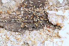 Termites Eating wood. Termites Eating wood and dangerous and disturbing insects of the house stock photos