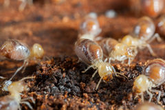 Termites insects in colony. Over wood stock photography