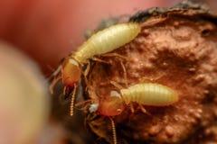 Termites macro Stock Photography