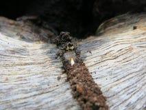 Termites ou fourmis blanches sur le bois Photographie stock