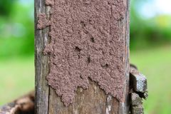 Termites on the stump - termite nest on a wooden post damaged by insect animal. Termites on the stump / termite nest on a wooden post damaged by insect animal stock image