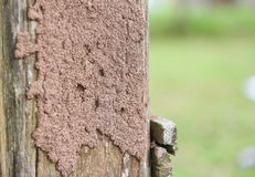 Termites on the stump - termite nest on a wooden post damaged by insect animal. Termites on the stump / termite nest on a wooden post damaged by insect animal royalty free stock photos