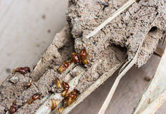 Termites in the timber. Stock Photos