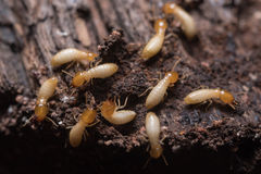 Termites or white ants. Close up termites or white ants stock image
