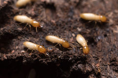 Termites or white ants. Close up termites or white ants stock photos