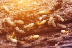 Termites or white ants. Close up termites or white ants royalty free stock photos