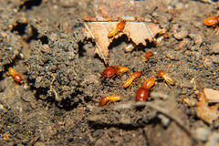 Termites or white ants destroyed. Close up of termites or white ants destroyed stock photo