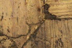 Termiti che cercano nascondersi nel pavimento di legno duro Immagine Stock