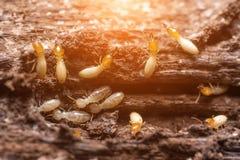 termiti o formiche bianche immagine stock