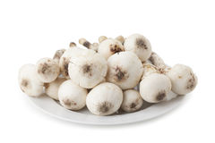 Termitomyces mushroom or termite mushroom Stock Photography