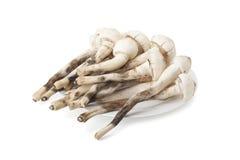 Termitomyces mushroom or termite mushroom Stock Image