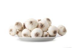 Termitomyces mushroom or termite mushroom Royalty Free Stock Images