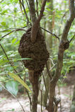 Termitu gniazdeczko w drzewie obraz stock