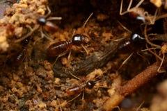 termity Zdjęcia Stock