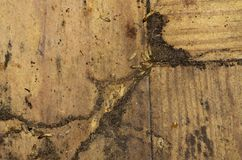 Termity patrzeje dla chować w twarde drzewo podłoga Obraz Stock