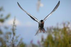 tern полета Стоковая Фотография RF
