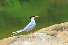 tern реки Стоковые Фотографии RF