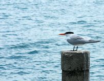 Tern Stock Photo