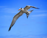 Free Tern Royalty Free Stock Photos - 12308608