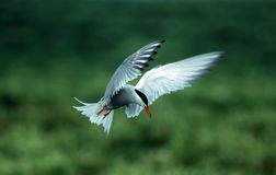 Tern. Common tern hovering royalty free stock image