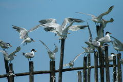 Free Tern Stock Photos - 6328933