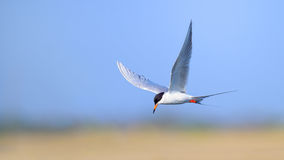 Tern Royalty Free Stock Photos