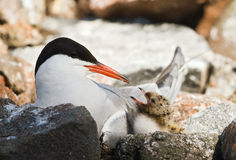 Tern and baby. Stock Photos
