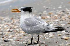 Tern on the beach Stock Images