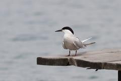 Tern Stock Photography