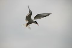 Tern beautifully hung in the air Royalty Free Stock Photography