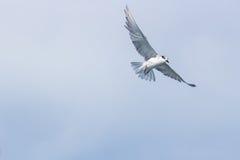Tern Bird in the sky stock image