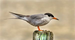 Sternula Antillarum, Least Tern bird Perched royalty free stock images