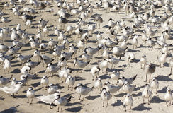 Tern birds on the beach Royalty Free Stock Photography