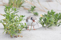 Tern chick with pipe fish Royalty Free Stock Images