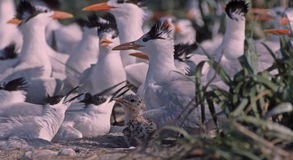 Tern colony in Gulf of Mexico. Royal tern with chick,sandwich terns nesting Stock Image
