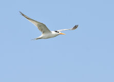 Tern Royalty Free Stock Photography