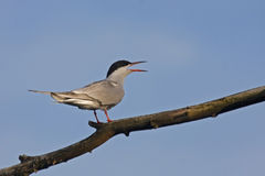 Tern Royalty Free Stock Images