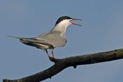 Tern Stock Photo